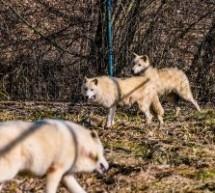 Zoo Sibiu are trei noi locuitori: un leopard de Amur și doi lupi albi, toate cele trei animale fiind primite ca donație